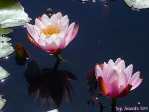 LotusFlowersHappiness